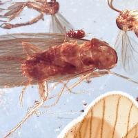 Encuentran cucarachas prehistóricas preservadas en ámbar